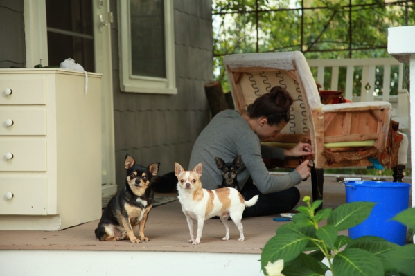 Chihuahuas help with furniture repair