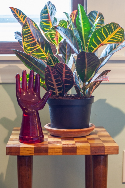 Decorative glass hand. Croton indoor plant.